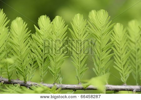 closeup of taxodium distichum sprouts in spring