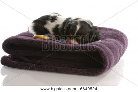 cavalier king charles puppy playing on purple blanket - six weeks old poster