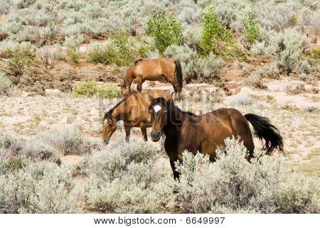 free roaming mustangs in the Pryor Mountain wild horse range in Wyoming poster