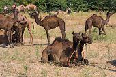 Camel at the Pushkar Fair ( Pushkar Camel Mela ) Rajasthan India poster