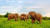 Family of african elephants walking in bush savannah. Taken in Chobe National Park, Botswana, Africa. poster