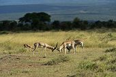 Grant's gazelle in the African savannah in their natural habitat poster