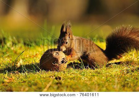 Brown squirrel with coconut on green grass poster