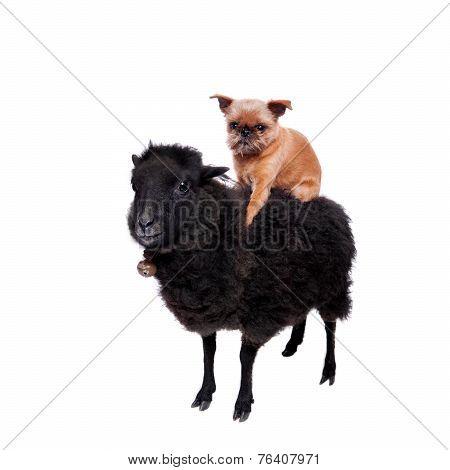 Griffon Bruxellois ahorse the Sheep on white