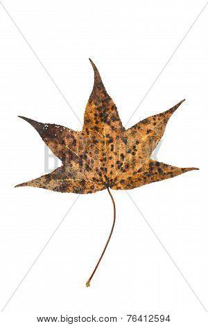 Sweetgum Tree Leaf On White