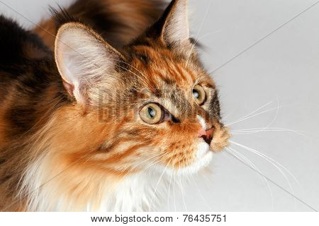Closeup ginger tortie Maine Coon cat looking at right
