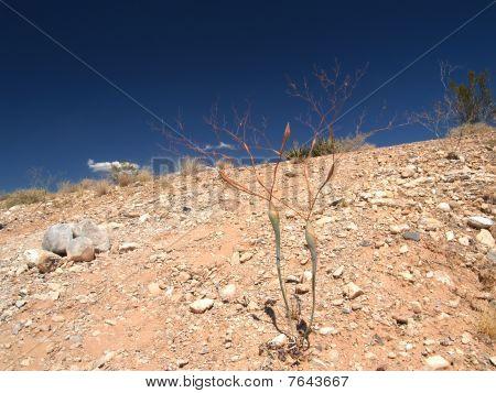 Desert plant.