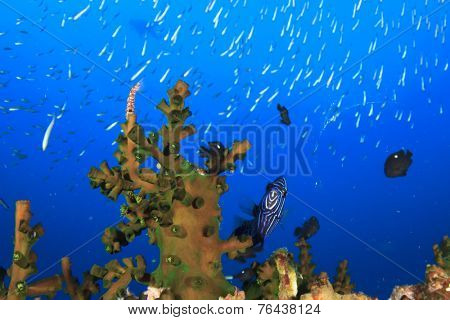 Juvenile Emperor Angelfish hides in coral reef poster