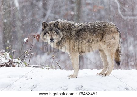 Lone timber wolf in a snow storm poster