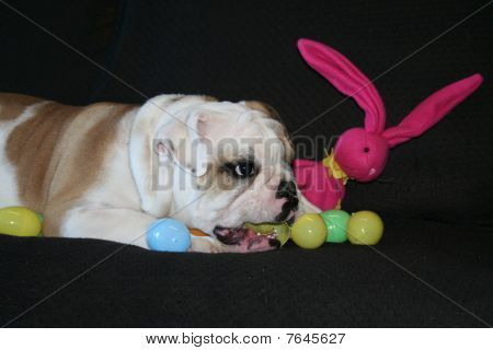 Cute puppy bulldog playing with the toys. poster