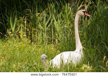Mute Swan (cygnus Olor) With Fledgling