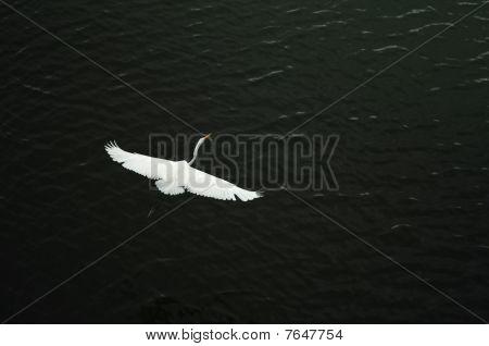 White crane soars over river