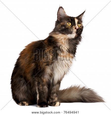 brown tortie Maine Coon cat looking at right