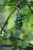 Green bunch of grapes in Piramida hill old vineyard in Maribor poster