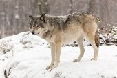 Timber wolf in a winter landscape with lots of snow poster