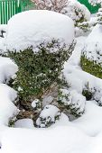 snowy ornamental tree, symbol photo for winter, frost damage and winter rest poster