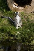 Ring tailed lemur (Lemur Catta) sitting up near a pond in a zoo poster