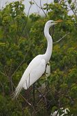 Great Egret (Ardea alba) in Breeding Plumage Perched in a Texas Rookery poster