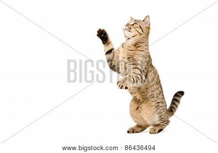 Playful cat Scottish Straight