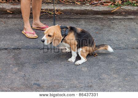 Adorable Beagle Dog Pooing