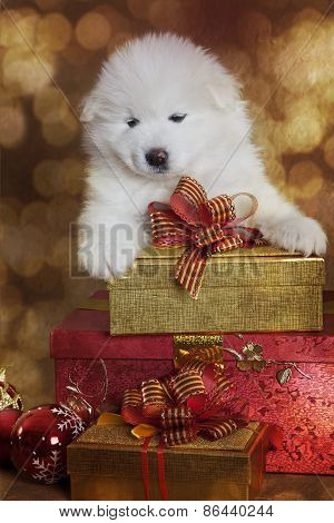 One Month Old Samoyed Puppy Dog With Christmas Gifts