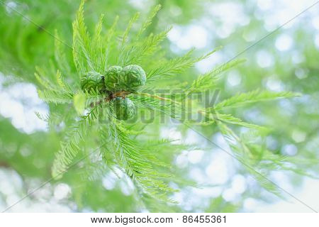 Sunlit Pastel Cypress Branch With Lush Foliage And Green Cones