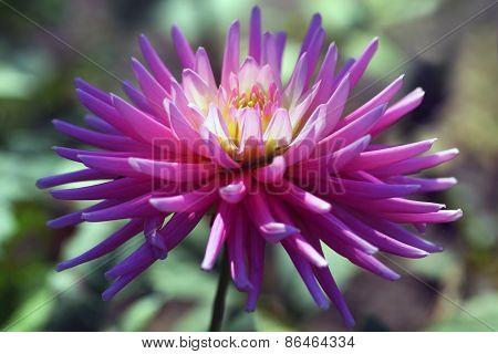 Asteraceae or Dahlia