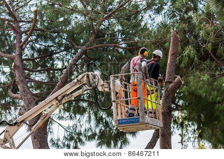 Professional Lumberjack Cuts Trunks