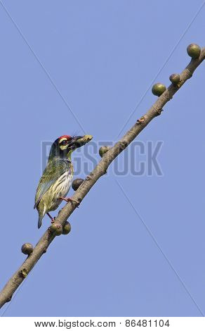 Megalaima haemacephala, coppersmith barbet perched on a branch, Nepal
