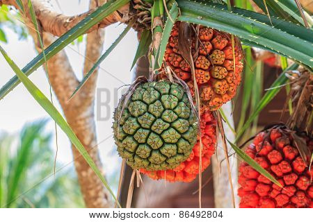 Screw Pine (pandanus Tectorius Or Pandanus Odoratissimus)