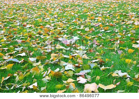 Fallen Leaves From Trees On The Shorn Grass