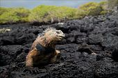 The marine iguana poses. / The marine iguana poses on the black stiffened lava. poster