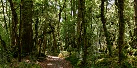 Beech Forest In Fiordland National Park