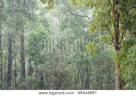 Gumtrees In The Pouring Rain