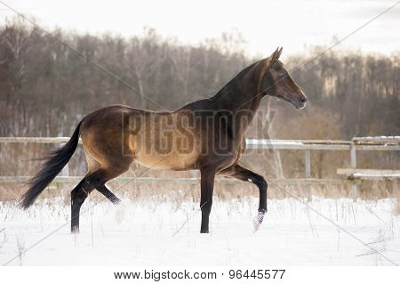 Dark Buckskin Akhal-teke Horse Trotting In Winter Paddock