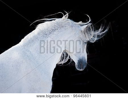 Expressive White Andalusian Horse Portrait On Black Background