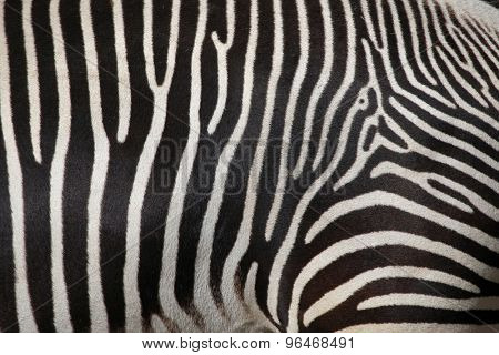 Skin of the Grevy's zebra (Equus grevyi), also known as the imperial zebra. Wild life animal.