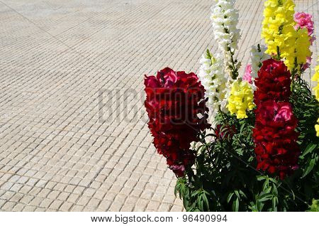 Beautiful Red, Yellow And White Gilly Flowers On Small Stone Tiles