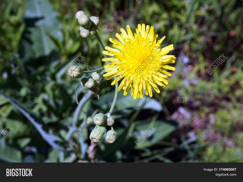 Yellow Flower Field Image Photo Free Trial Bigstock