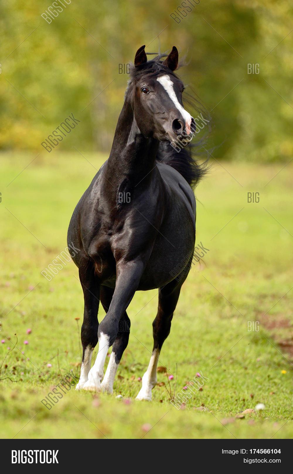 Black Arabian Stallion Image Photo Free Trial Bigstock
