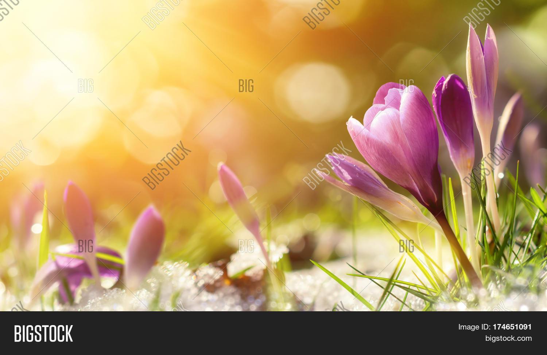 Purple Crocus Flowers Image Photo Free Trial Bigstock