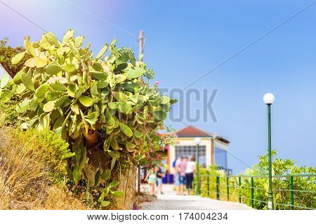 Huge flowering cactus growing along the Hiking trails. Tourist beach resort in the village of Bali Crete island Greece Beach Caves