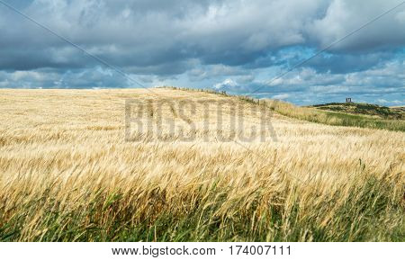 Field of crop under the influence of glyphosate to increase the growing