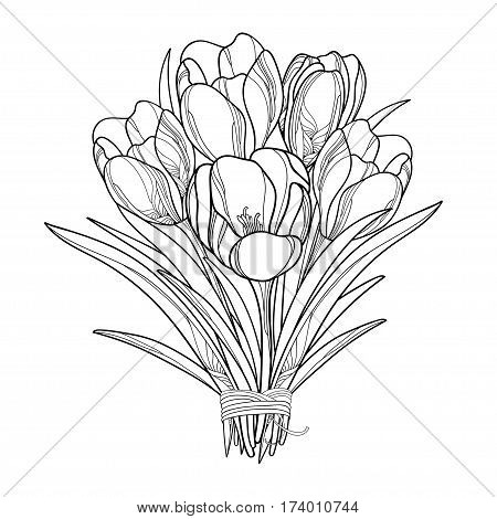 Vector bouquet with outline crocus or saffron flowers isolated on white. Ornate floral elements for spring design, greeting card, invitation, coloring book. Bunch of crocuses flower in contour style.