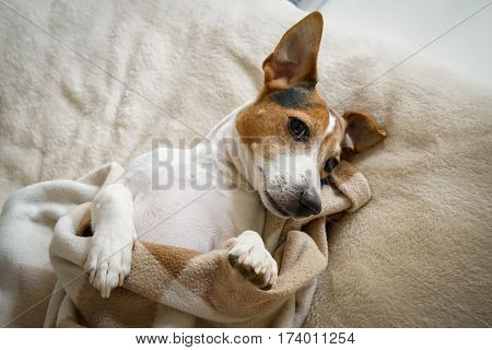 Adult Jack Russell Terrier lying in the bedroom wrapped in the chequered blanket top view natural light looking at the camera