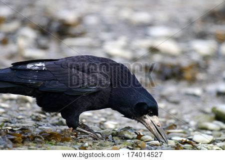A Rook foraging among rocks with it's beak