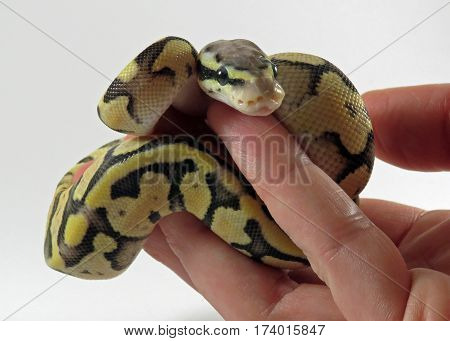 A baby yellow and black coloured Royal / Ball Python  being held in a hand against white background