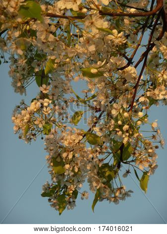 Cherry or plum blossoms on a branch are cascading down in a close image against a blue sky.