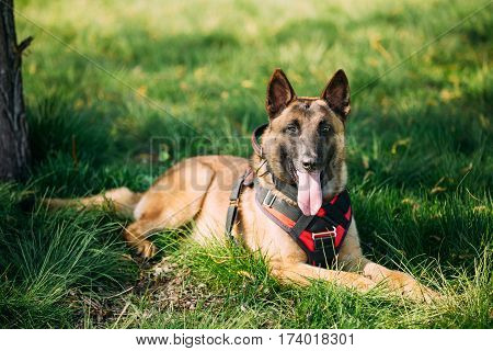 Malinois Dog Sit Outdoors In Green Summer Grass. Well-raised and trained Belgian Malinois are usually active, intelligent, friendly, protective, alert and hard-working.