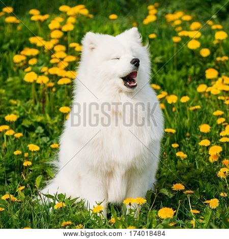 Funny Young Happy Smiling White Samoyed Dog Or Bjelkier, Smiley, Sammy Yawning In Green Spring Meadow With Yellow Flowers. Playful Pet Outdoors.